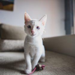 Enfermedades frecuentes en gatos I: Coronavirus y PIF