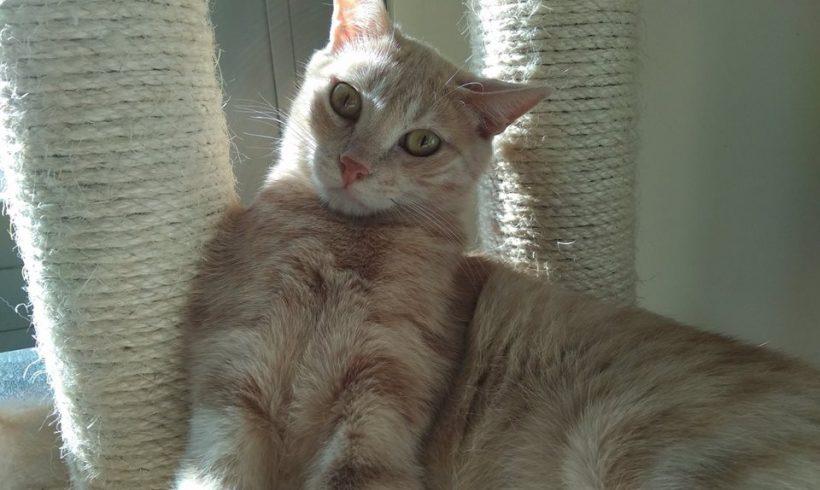 Ventajas de adoptar a un gato adulto