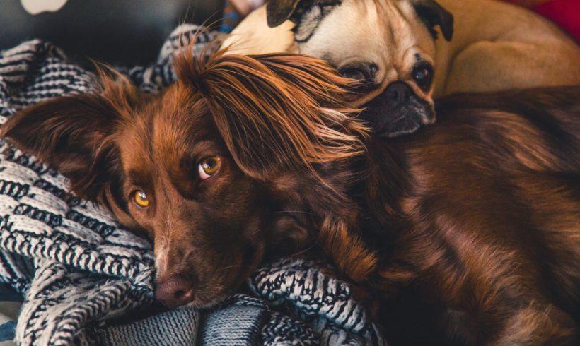 Moquillo en perros
