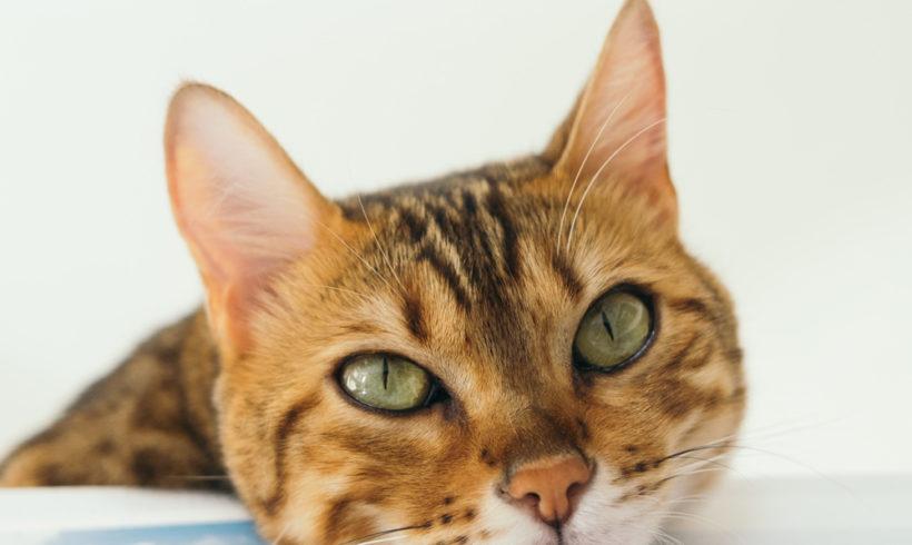 Gatos y coronavirus. Recuerda: no pueden contagiar a humanos