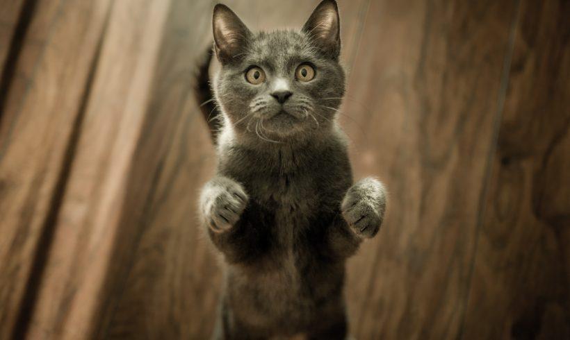 Neumonía en gatos