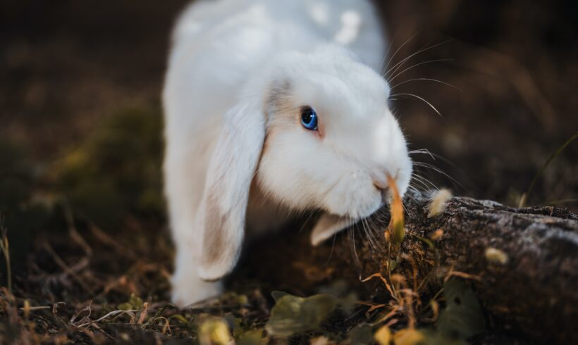 Mixomatosis en conejos – Síntomas y prevención
