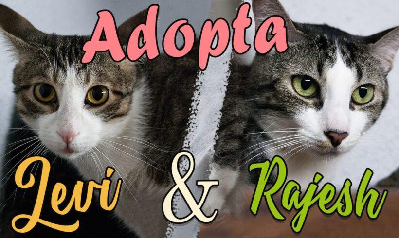 ¿Te has planteado una adopción de gatos 2×1? No te pierdas a Rajesh y Levi
