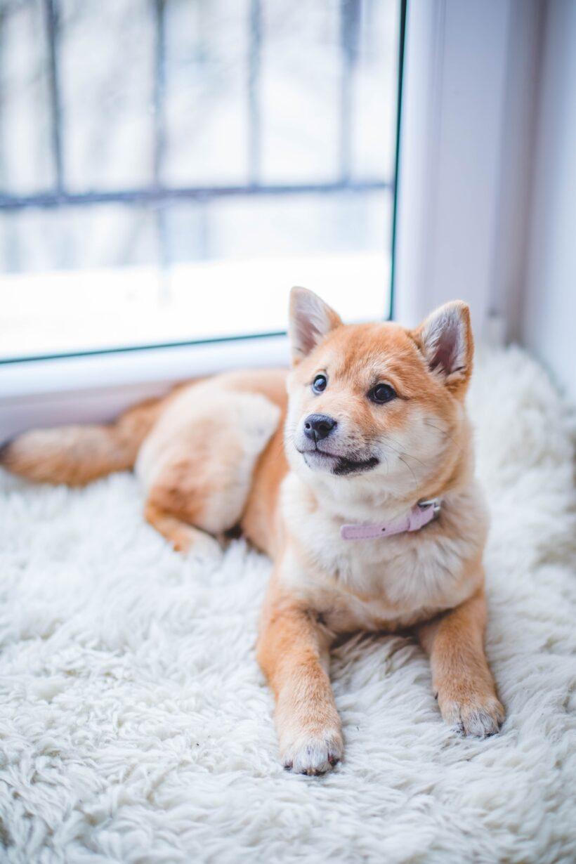 Ehrlichiosis canina – Síntomas y tratamiento