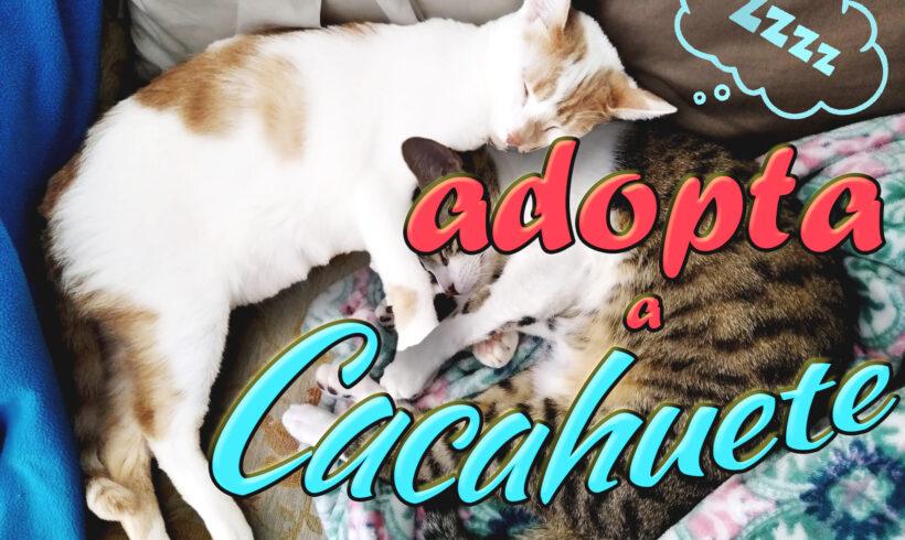 Adopta a Cacahuete, el gatito más dulce