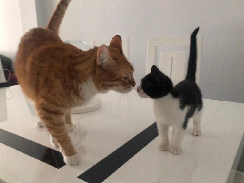 ¿Cómo presentar un gatito a otro gato adulto?