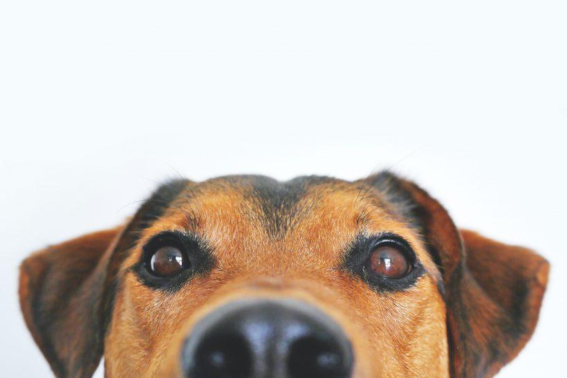 Alzheimer en perros – Síntomas y tratamiento