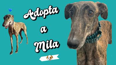 Mila, una galguita muy especial con quien disfrutar los domingos en el sofá